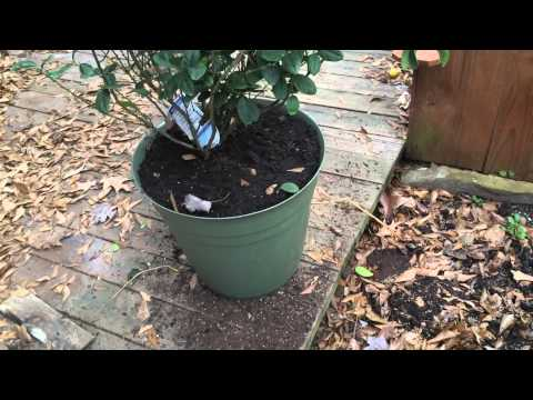 Repotting and Pruning Citrus Trees