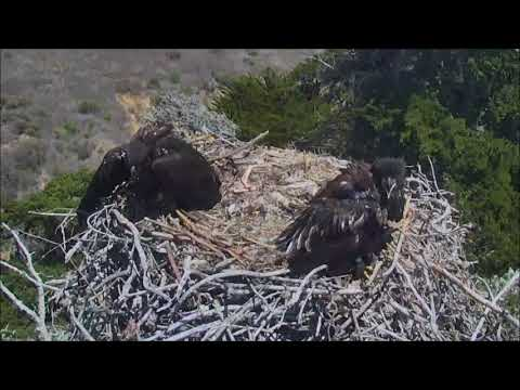 SAUCES ISLAND EAGLET FALLS OUT OF THE NEST
