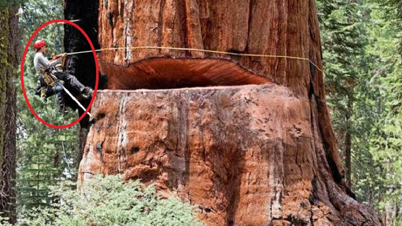 Dangerous Felling 500-year-old Tree Huge Chainsaw Machines, Fastest Cutting Down Big Tree Working