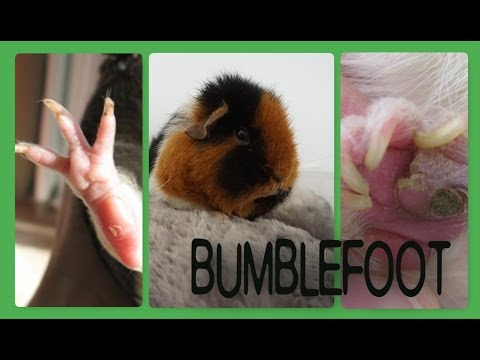 Bumblefoot in Guinea Pigs: What, Why and How to Treat? | Squeak Dreams