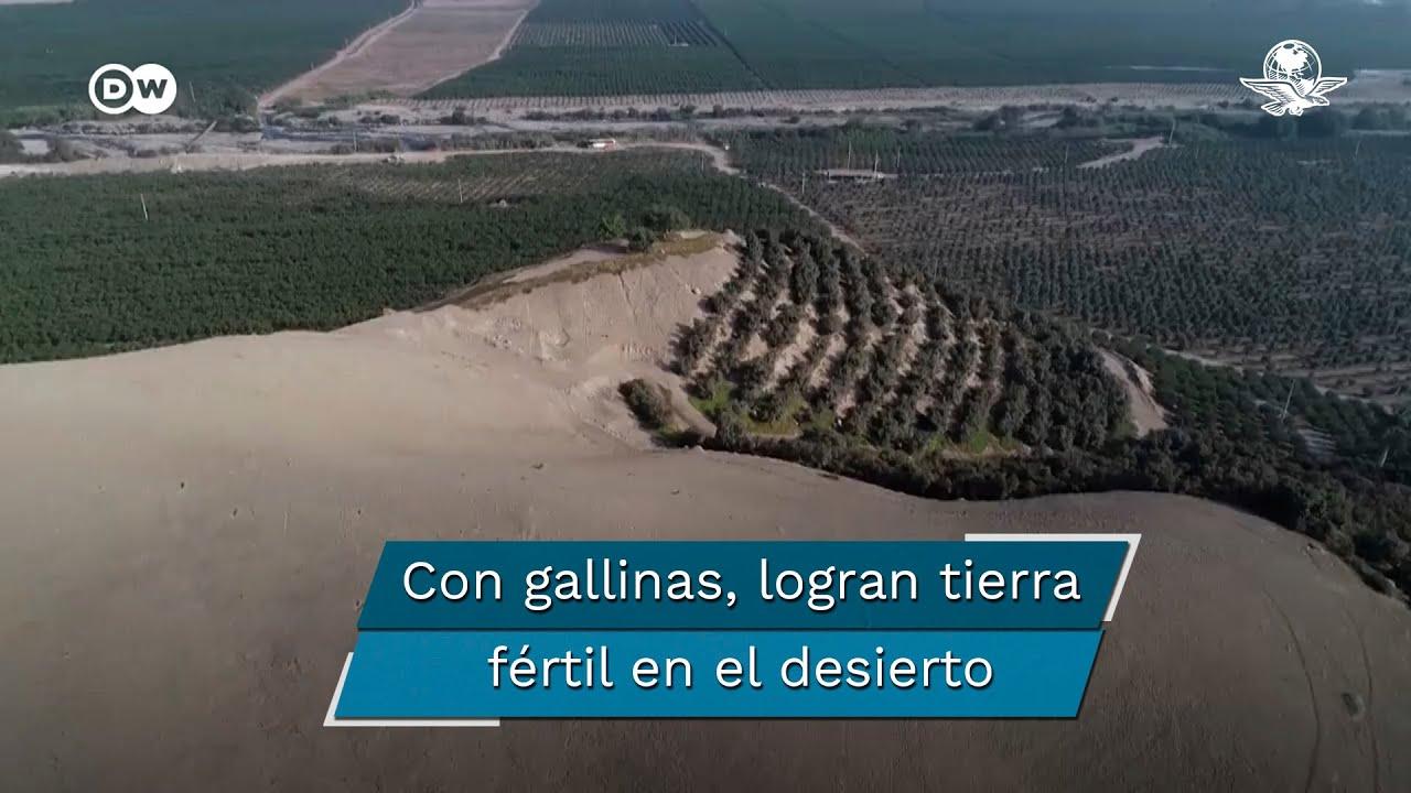 Usan excremento de gallinas ponedoras para convertir el desierto en tierra fértil