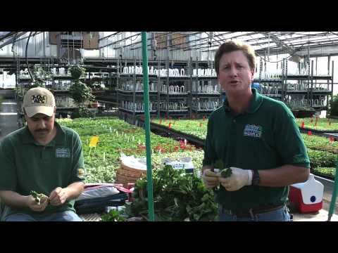 Geranium Propagation by Caan Floral & Greenhouses