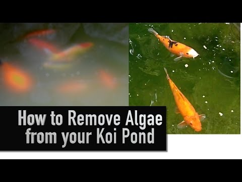 How to Remove Algae from your Koi Pond
