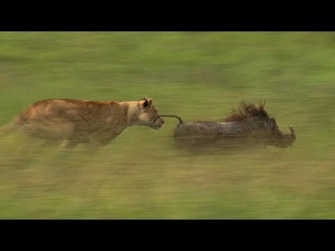 Mother Lioness Hunts Warthog | BBC Earth