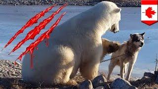Polar bear eats dog: Dog-petting polar bear ate sled dog hours after cute viral video - TomoNews