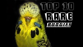 983da8a981d1 Rare Budgie Colors   Budgie Parakeets in Variety of Colors - Watch ...