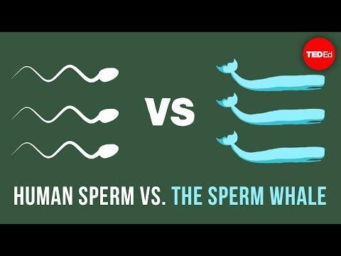 Human sperm vs. the sperm whale - Aatish Bhatia