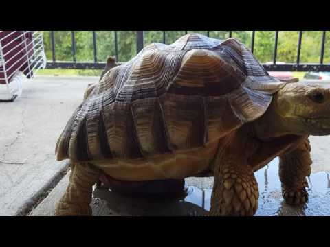 6 YEAR OLD SULCATA TORTOISE MALE ORGAN TRYING TO MATE PART 3