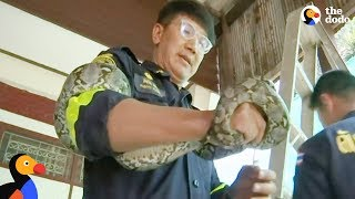 Thousands of Snakes Invade Houses in Bangkok - This Guy Is Trying To Save Them | The Dodo