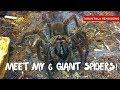 Giant Spiders! Meet my 6 Goliath Birdeater Tarantulas!