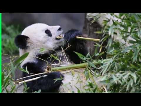 Where do Pandas live | giant | bear | panda habitat | where does a panda live
