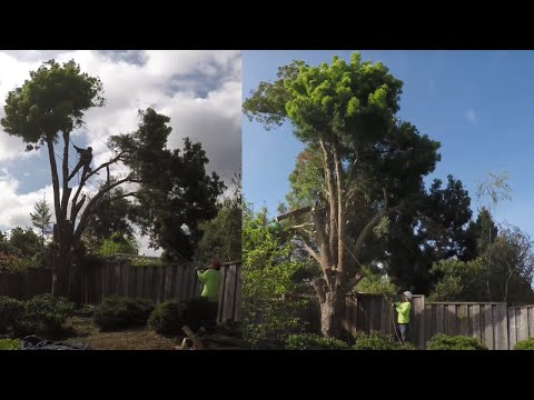 How To Cut Down A Large Tree In Sections Safely Without Damaging Surrounding?  - in 4K UHD