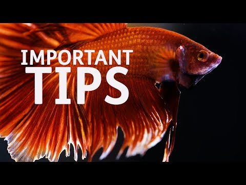 Important Tips on Betta Fish Care