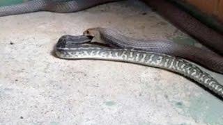 Eastern Brown Snake Eating Carpet Python