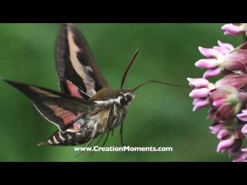 Moths That Think They Are Hummingbirds
