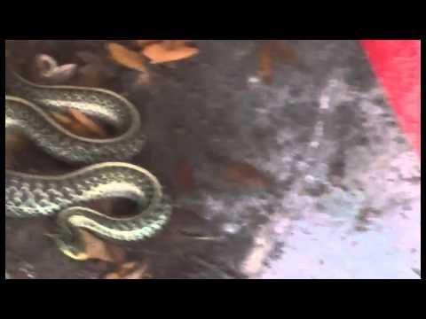 Orlando Florida sneaky snake (Garter Snake)