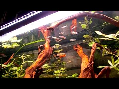 feeding my fishes alive food(artemia)