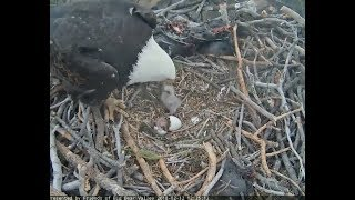 Big Bear Eagle Cam ~ Welcome To The World BB2 Hatches; Mom Steps On Baby SLO MO 2.12.18