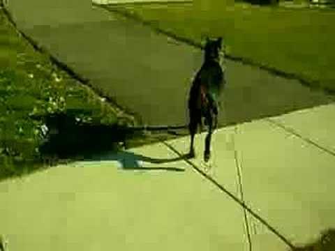 Teaching my Doberman to carry my mail.