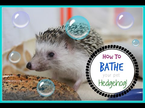 How To Bathe Your Hedgehog!