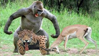 Gorillas Really Want To Rescue The Impala From Leopard, Jackal Hunting ? Leopard vs Baboon vs Impala