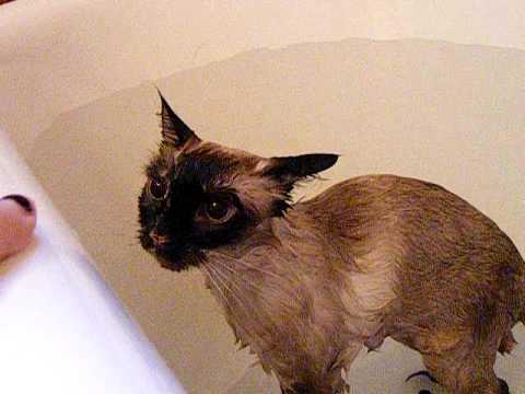 my cat complaining about geting a bath
