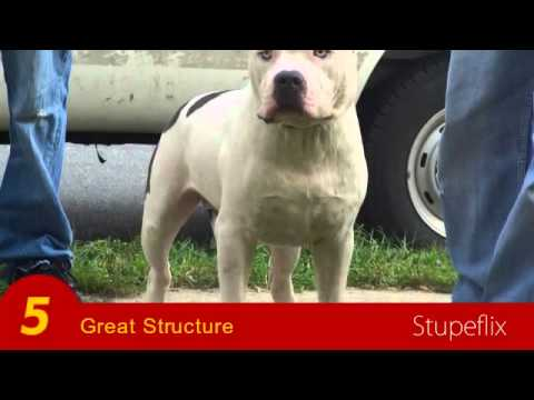 AMERICAN BULLY STUD FROM THE WORLD FAMOUS KILLINOIS KENNELS,NAPOLEON