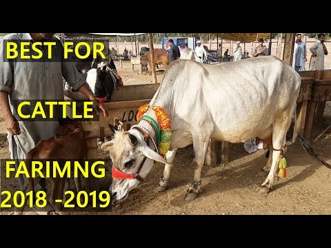 Sahiwal Cow - Australian Friesian Cow in Lahore Cow and