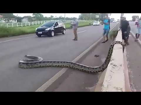 Xxx Mp4 Traffic Halts As Giant Anaconda Crosses Road In Brazil Video Goes Viral GoViral 3gp Sex