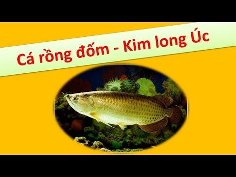 Cá rồng đốm - Kim long Úc