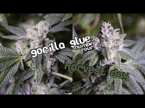 Gorilla Glue #4 Harvest Day - One final look before the chop!