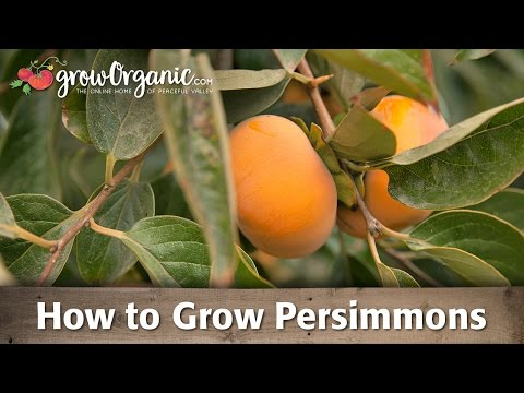 How To Grow Organic Persimmons
