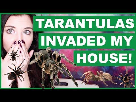 Tarantulas Invaded My House!