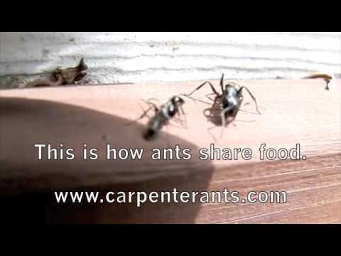 Carpenter Ants Closeup with Queen and Nurse Ants