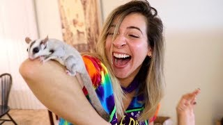 SURPRISING HER WITH BABY SUGAR GLIDER!!