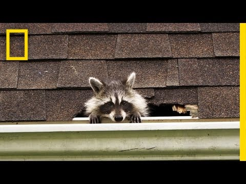 How to Evict Your Raccoon Roommates | National Geographic
