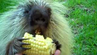 """""""Teddy Bear,"""" the porcupine, doesn't like to share..."""