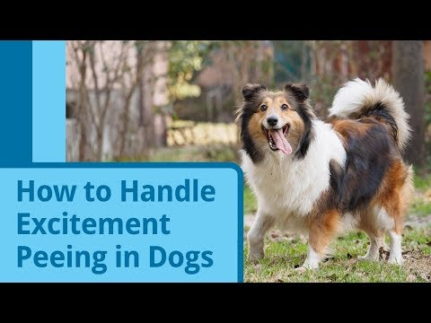 How to Handle Excitement Peeing in Dogs