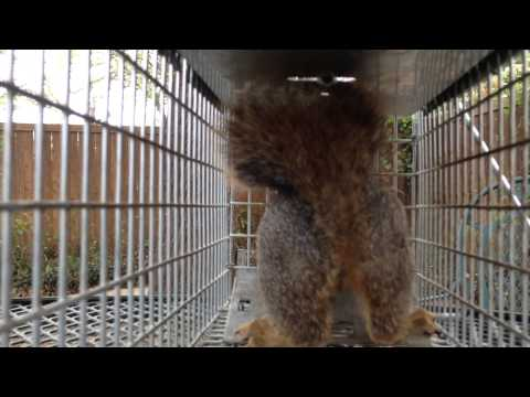 Baby squirrel in live-catch rat trap