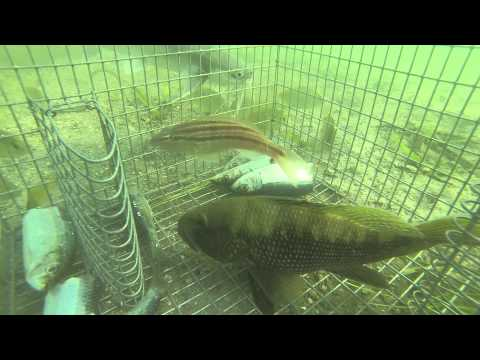 GoPro in bait trap 1