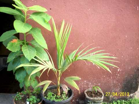 Palm Tree Growing - 815 Days Time Lapse [4K]
