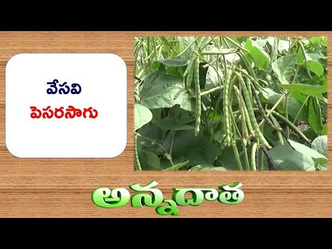 Summer Pulse Cultivation | in Rice Fallows || ETV Annadata