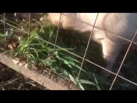 Feeding oats to your pig