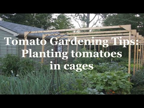 Tomato Gardening Tips: Planting tomatoes in cages