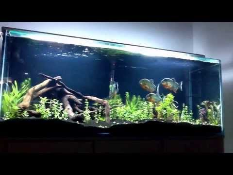 Red bellied piranhas in dirt planted tank