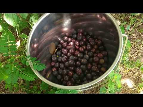 Harvesting Muscadine Grapes