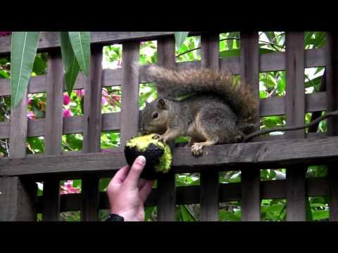 Squirrel Eating an Avocado