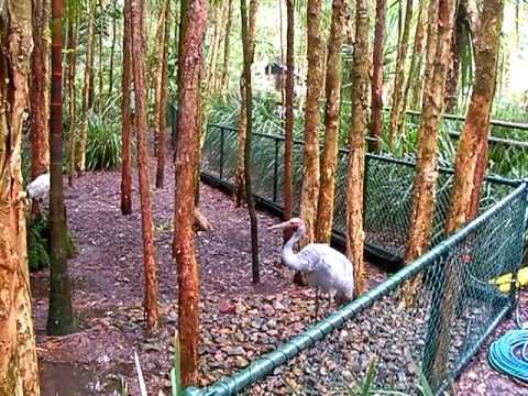 Brolga At Australia Zoo