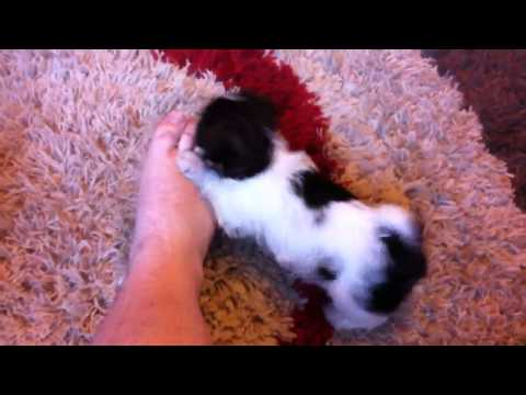 Shih-tzu puppy chewing toes !