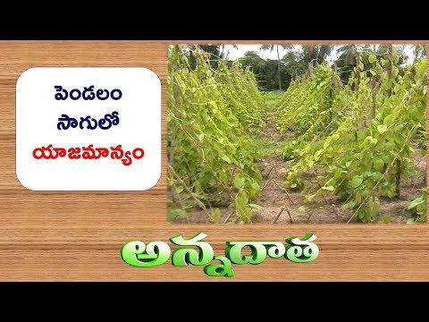 Common Yam Cultivation Tips || ETV Annadata